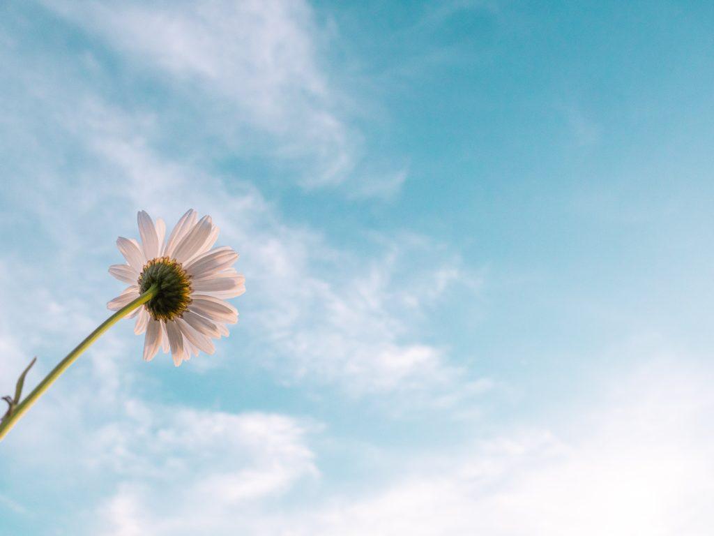 daisy hope